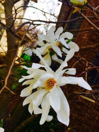 White Flowers - Audrey Honig