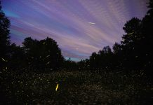 Fireflies - Flickr