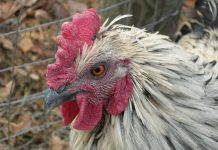 Speckled Chicken - flickr